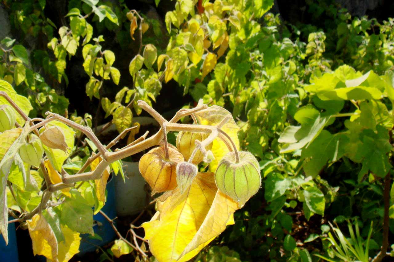 Beside other fruits, vegetables and herbs Physalis grows at Finca Alcalá